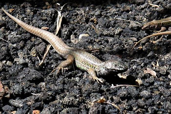 Atlantic Lizard,Gallotia atlantica (Paul Harmes)