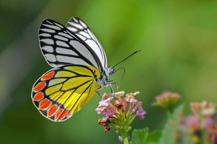 Common-Jezebel-butterfly-shutterstock_778618135.jpg