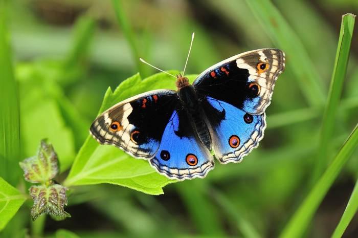 Blue Pansy Butterfly, Papua New Guinea shutterstock_186597863.jpg