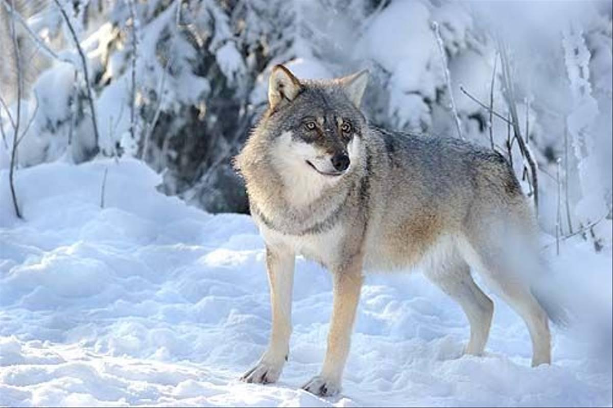 Wolf (Anders Stahl)