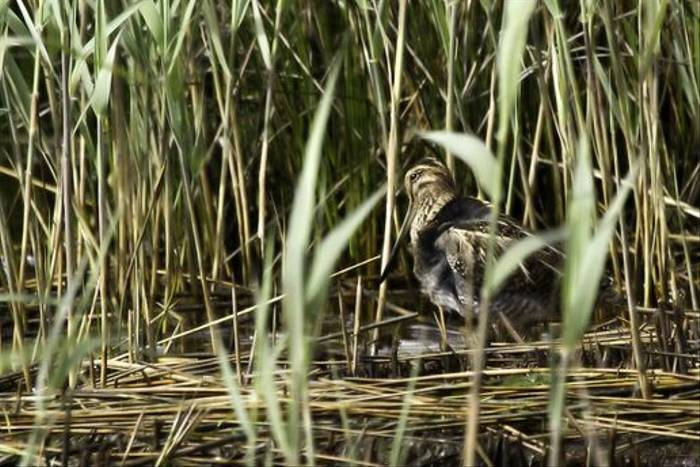 Common Snipe (Colin Brown)