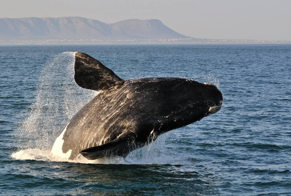 Southern Right Whale shutterstock_154929767.jpg