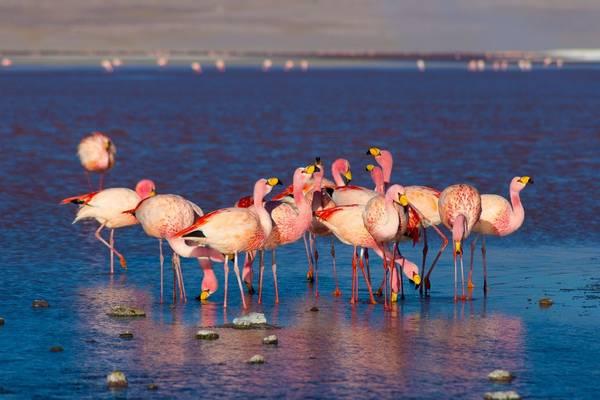 James'S Flamingo, Bolivia Shutterstock 325940897