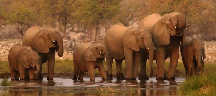 African Elephants (Loxodonta Africana) Drinking, Etosha © R Harvey