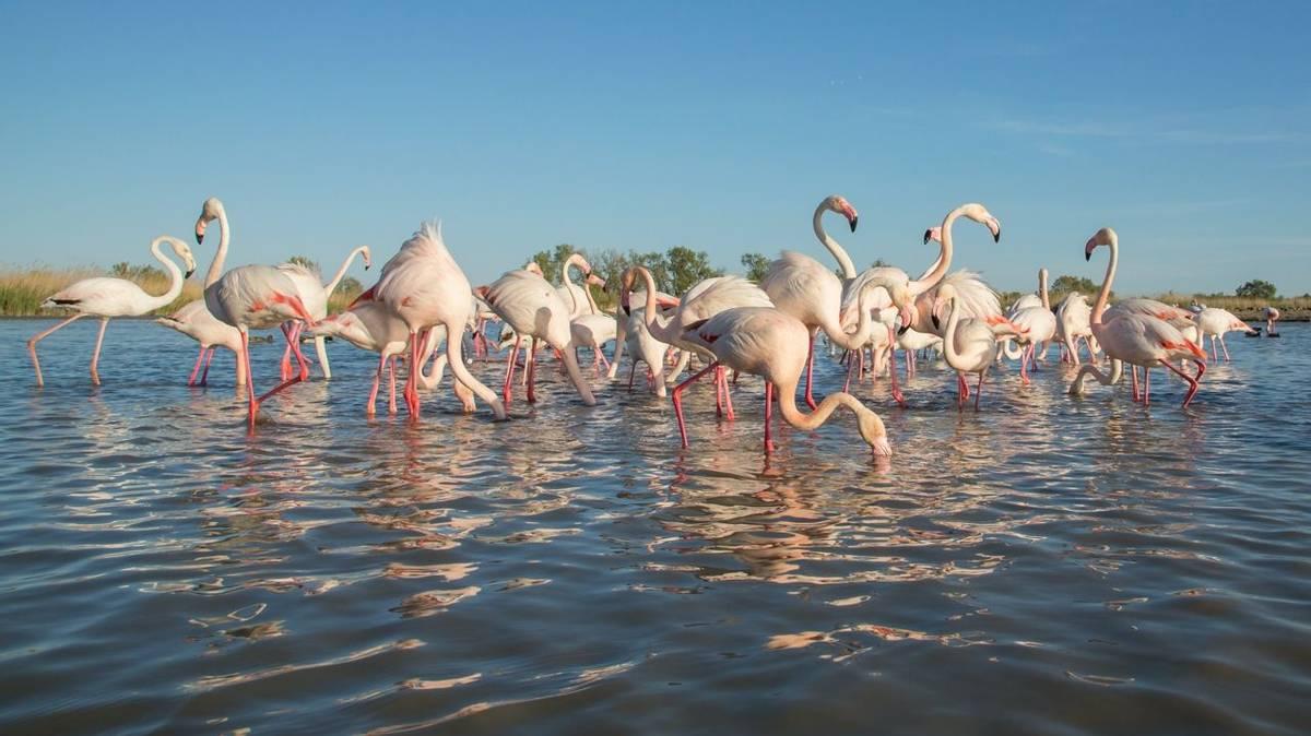 Greater Flamingo, Camargue, France Shutterstock 572628829