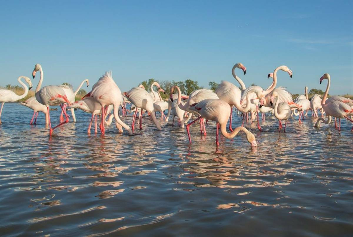 Greater Flamingo, Camargue, France Shutterstock 572628829