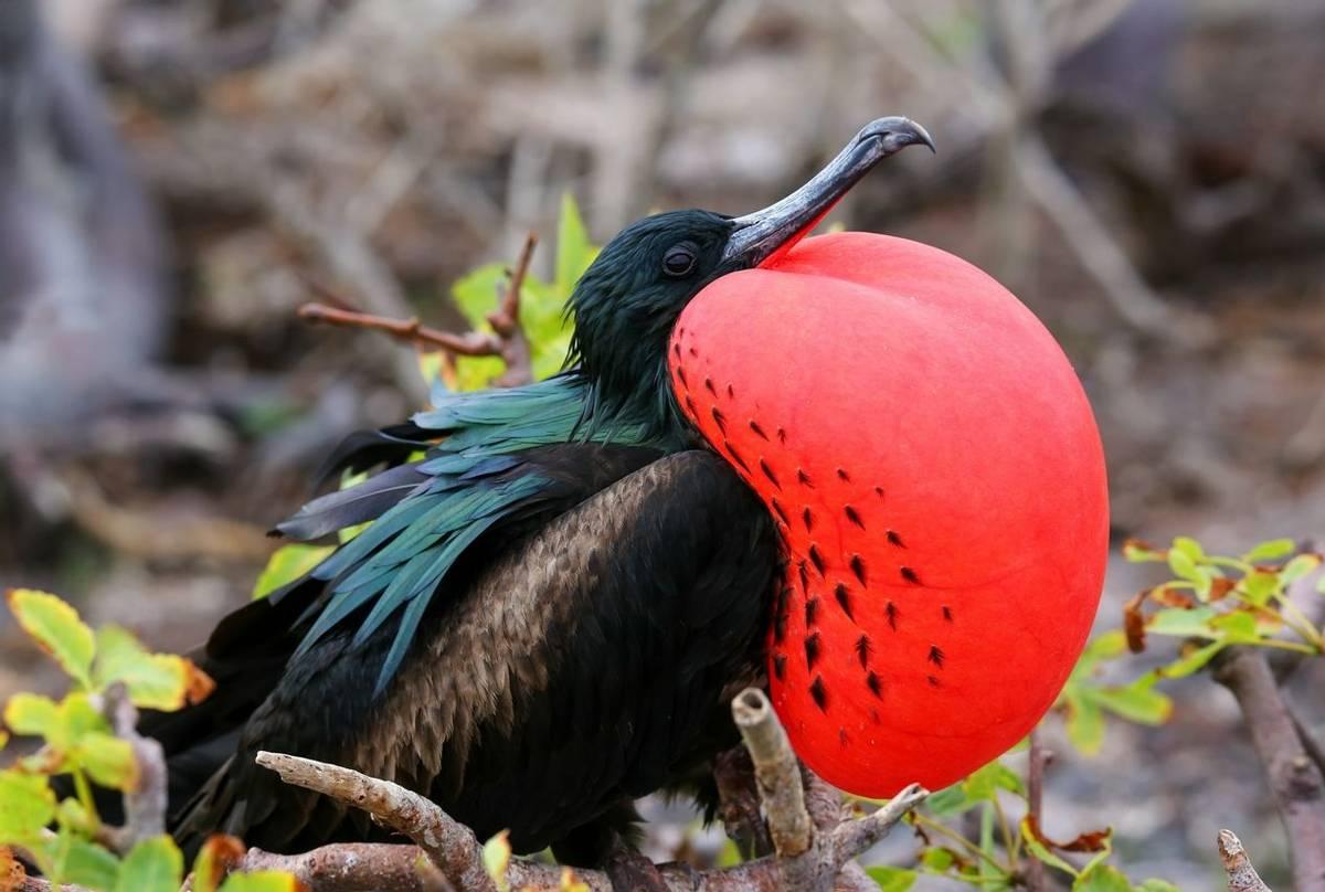 Great Frigatebird, Galapagos Shutterstock 511126021
