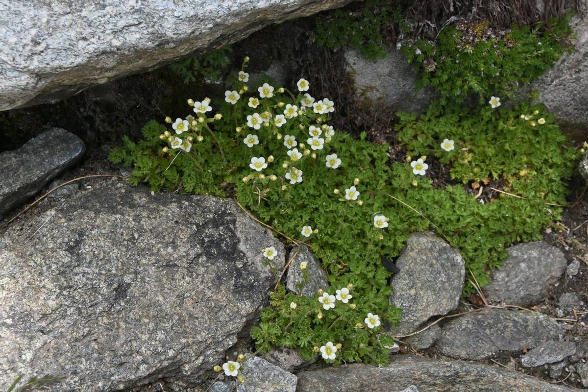 White Musky Saxifrage (Saxifraga exarata subsp. exerata)
