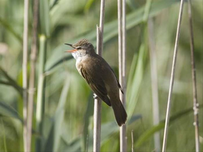 Great Reed Warbler (Kevin Elsby)