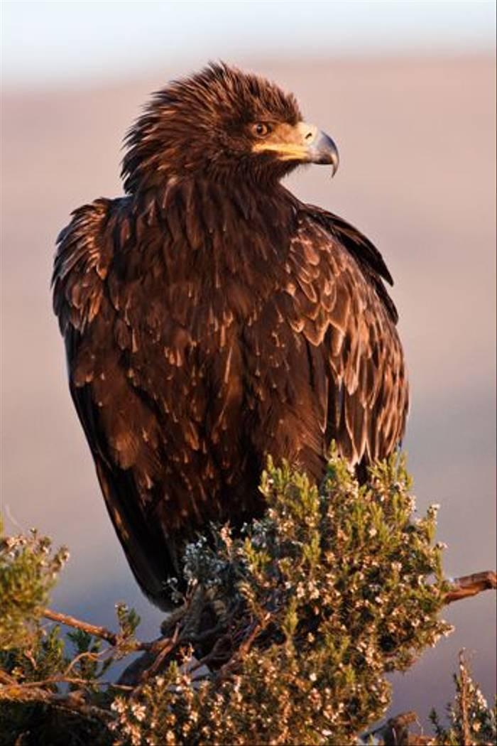 Eagle sp (Dani Free)