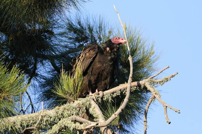 Turkey Vulture (Brian West)