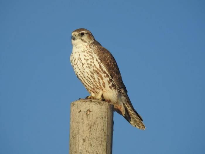 Saker Falcon (Gerald Broddelez)