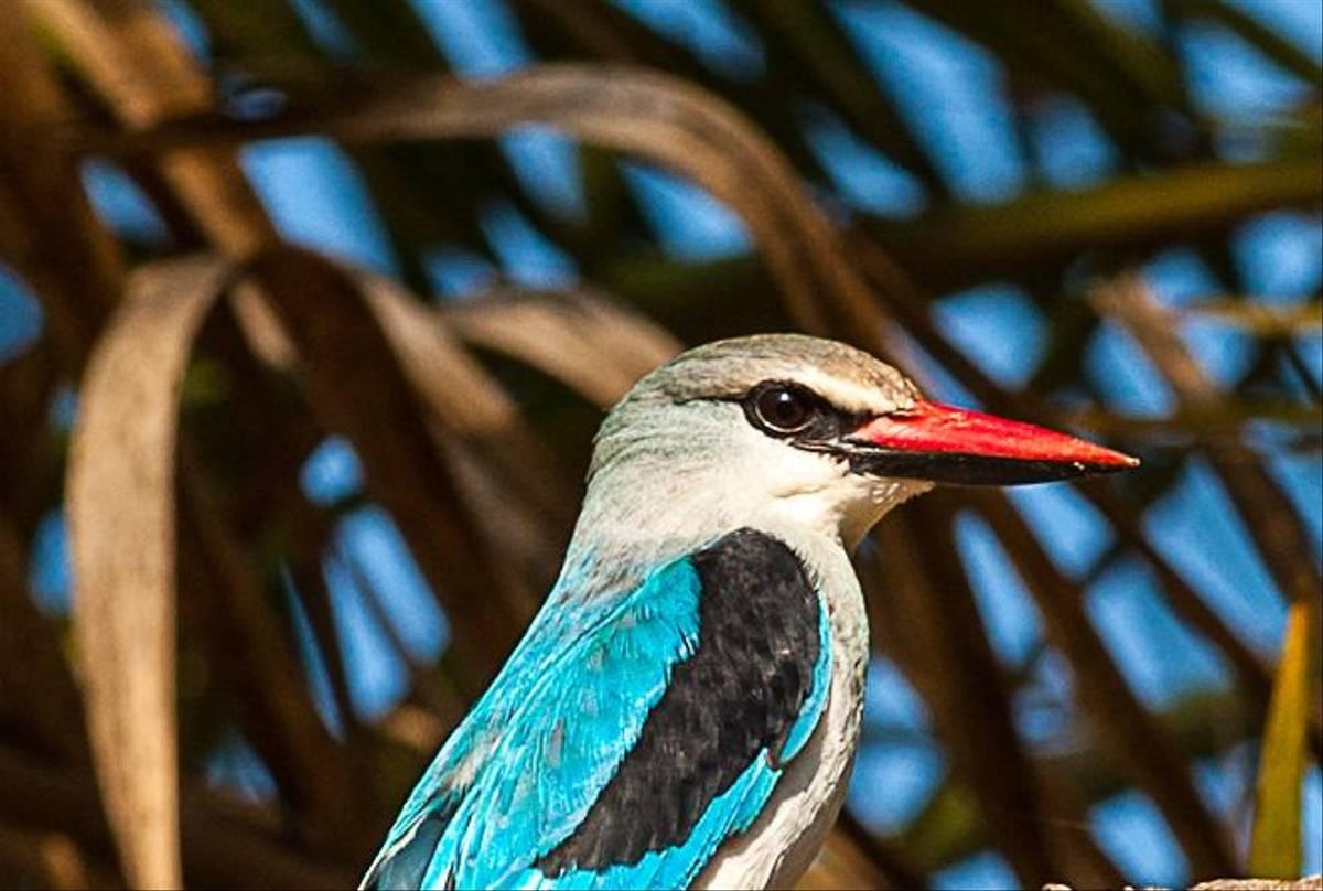 Woodland Kingfisher (Dave Montrevil)
