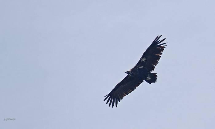 Black Vulture (Georgos Spiridakis)