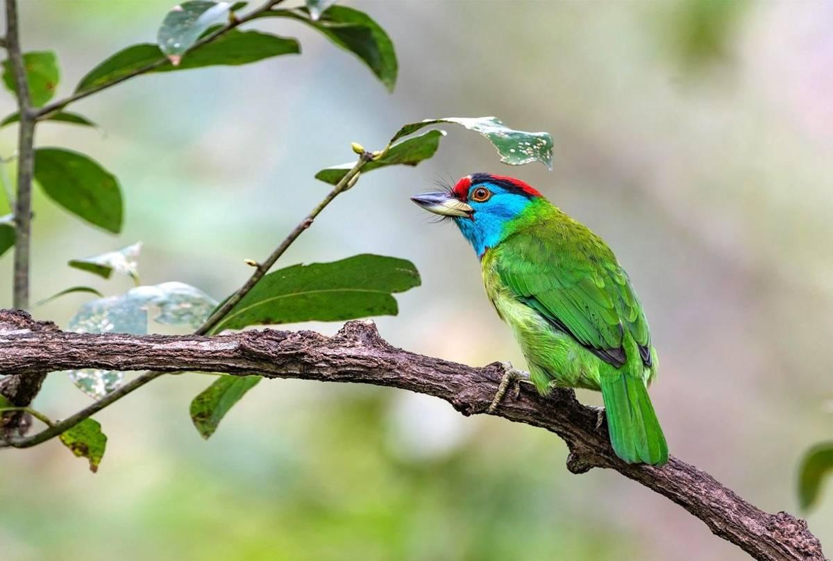 Blue Throated Barbet Shutterstock 523198258