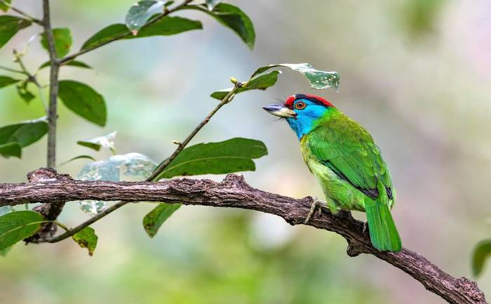 Blue Throated Barbet Shutterstock 523198258