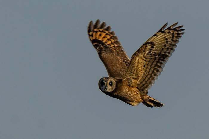 Moroccan Marsh Owl (Simon Tonkin)