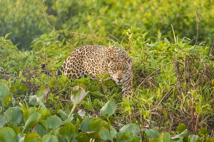Jaguar Pantanal. Shutterstock 274258571