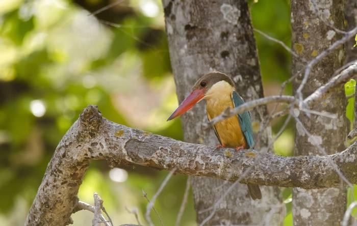 Stork-Billed Kingfisher, Bandhavgarh National Park, India shutterstock_757986706.jpg