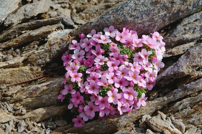 Alpine rock-jasmine