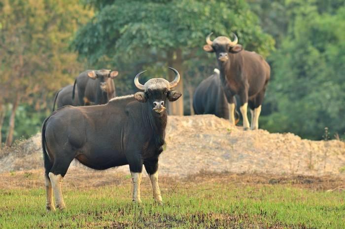 Gaur,-Kanha-National-Park-shutterstock_1300357543.jpg