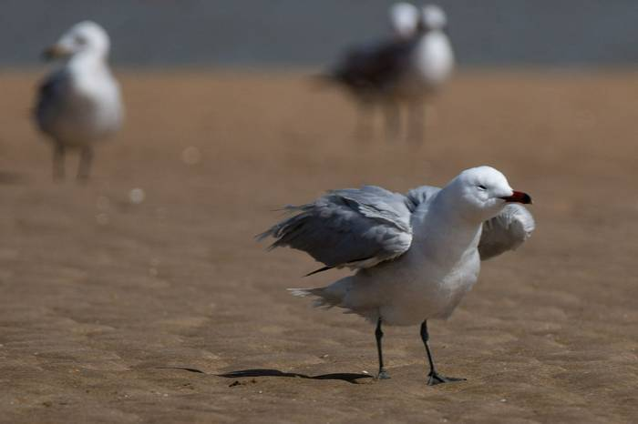 Audouin'S Gull (Simon Tonkin)