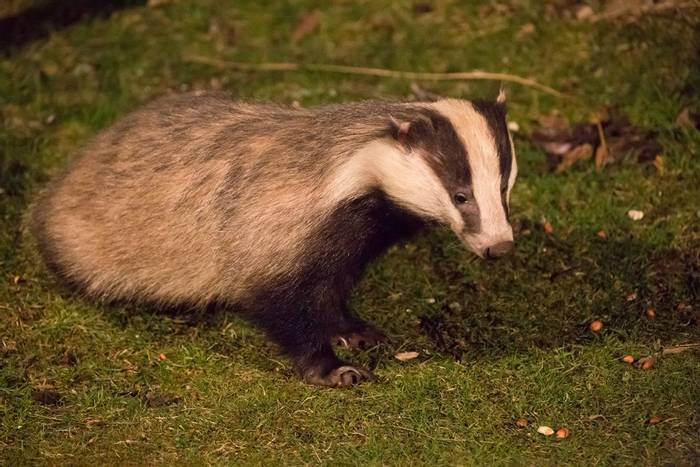 Badger (© Robert Harvey)