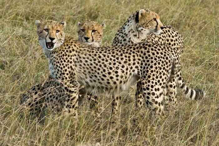 Masai Mara,  Cheetah 0090
