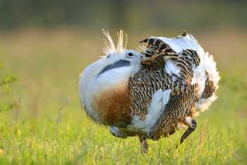Great Bustard Shutterstock 177376895