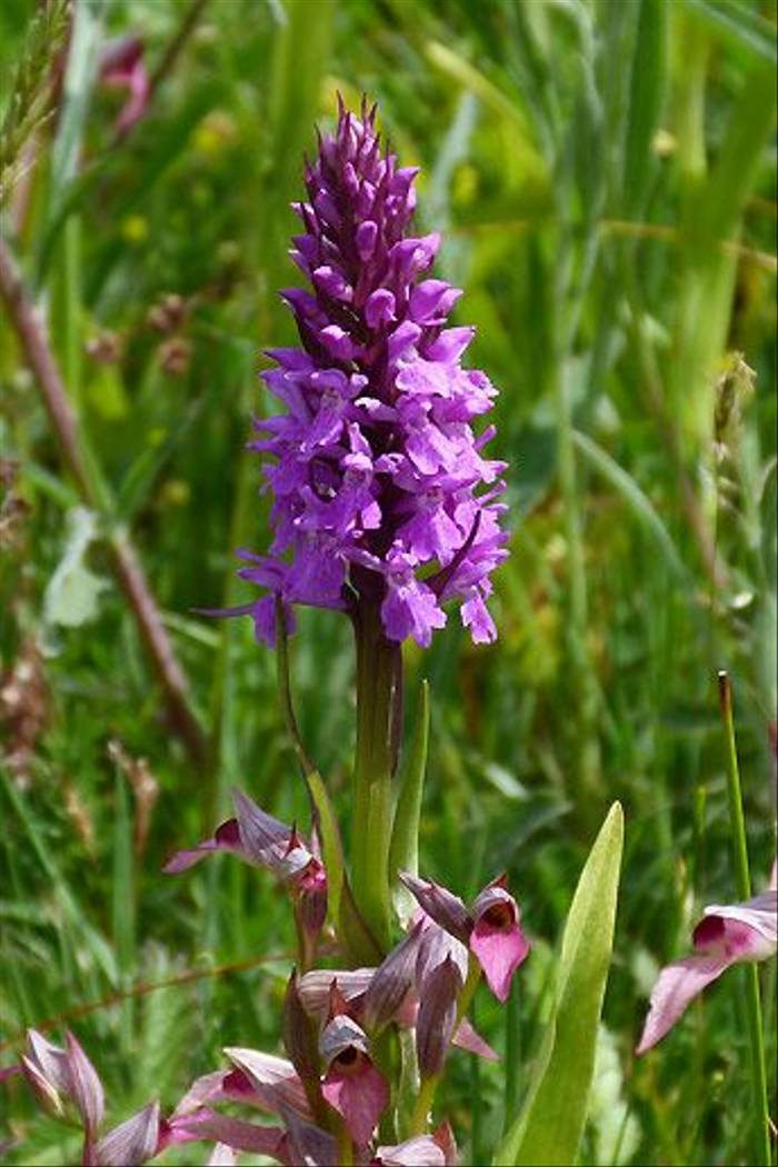 Spotted and Tongue Orchids(Tom McJannet)