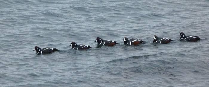 Harlequin Ducks (Charles Kinsey)