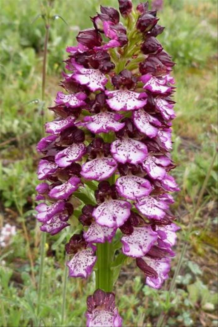 Orchis purpurea, Lady Orchid, St Paul de Fenouillet