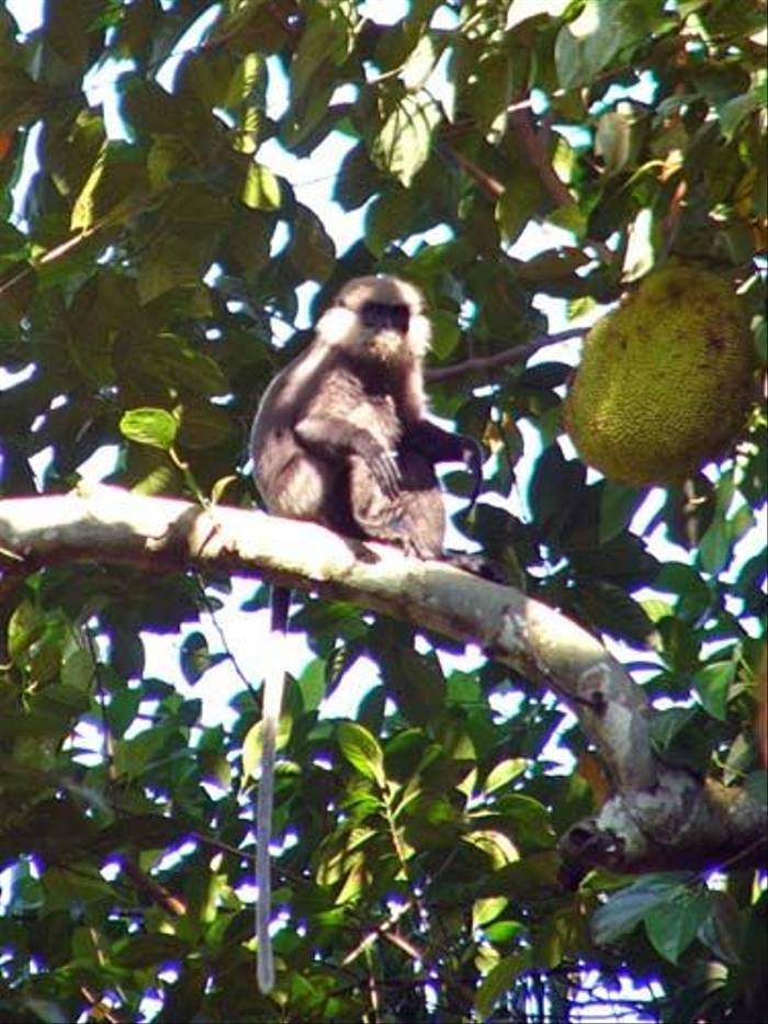 Purple-faced Leaf-Monkey (Barbara Lovell)