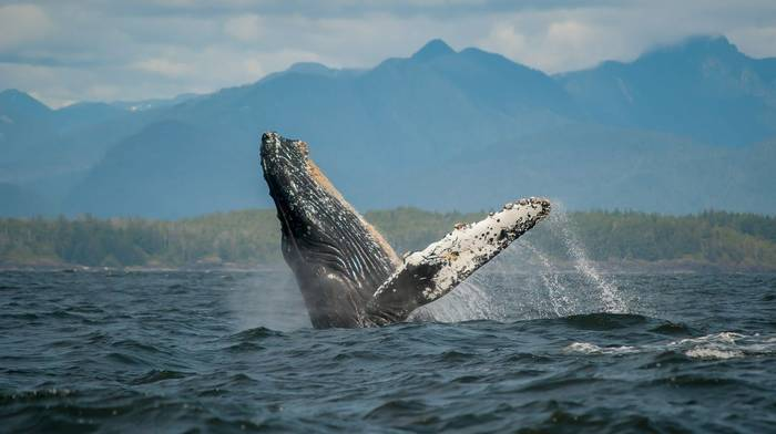 Humpback Whale, British Colombia, Canada shutterstock_378077740.jpg