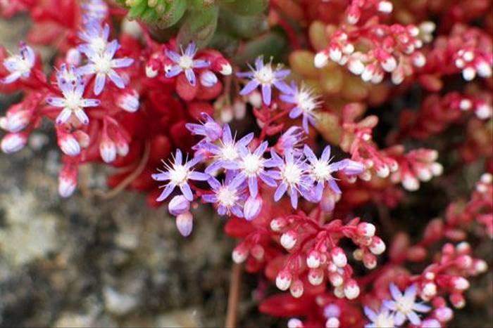 Azure Stonecrop, Sedum caerulium (Paul Harmes)