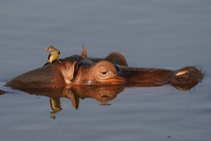 Hippo & Red-billed Oxpecker (Duncan Woodhead)