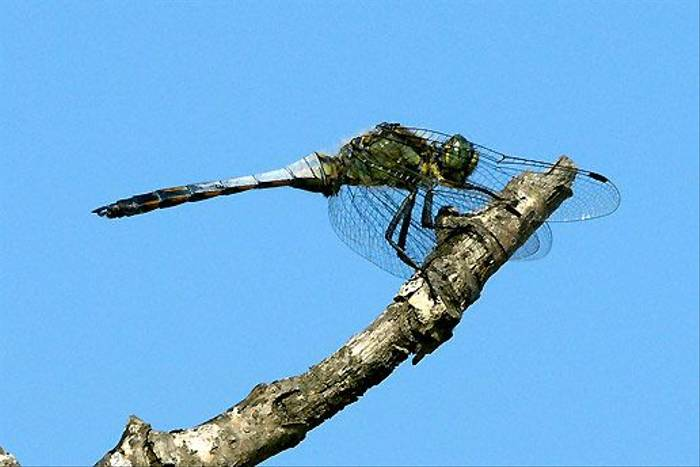 Black tailed Skimmer, male (Ian McColl)