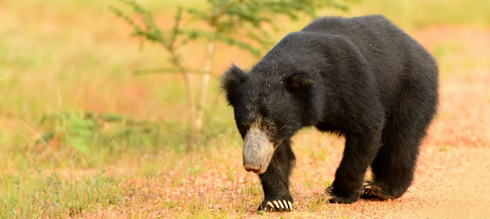Sloth Bear Shutterstock 410196538