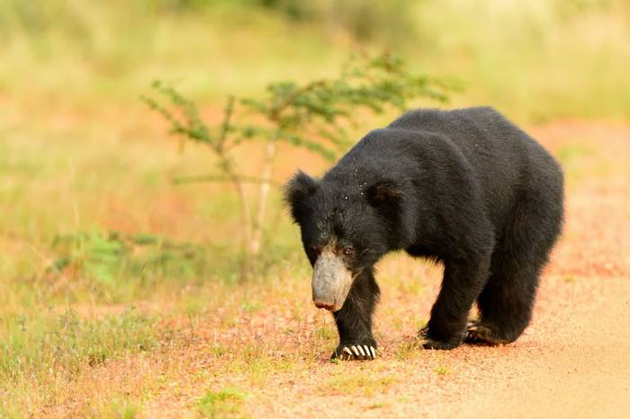 Sloth Bear Shutterstock 410196538