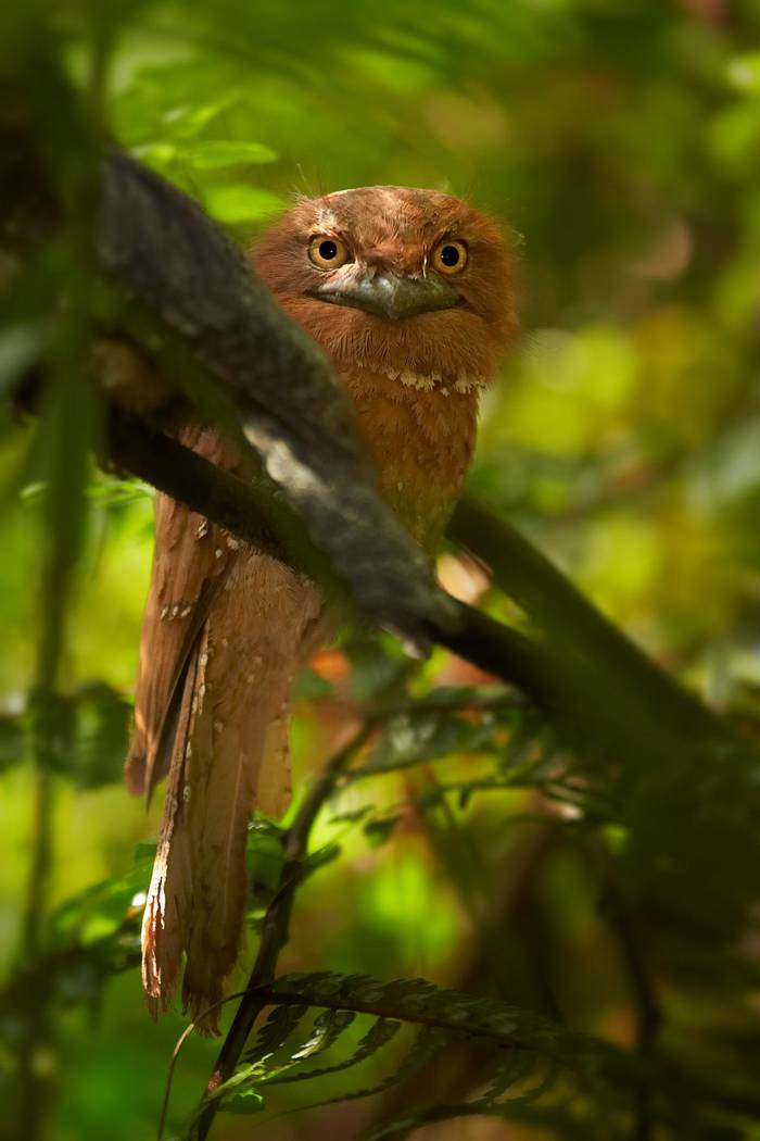 Sri Lanka Frogmouth, Sinharaja shutterstock_380706559.jpg