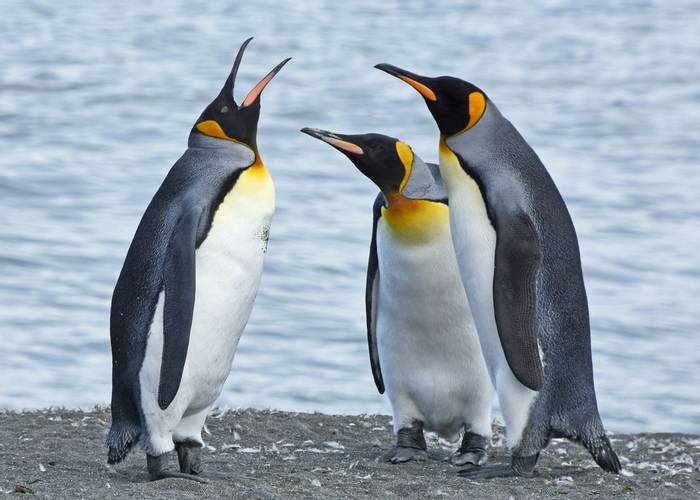 King Penguin conversation, St Andrews Bay, South Georgia, 30 Jan 2016