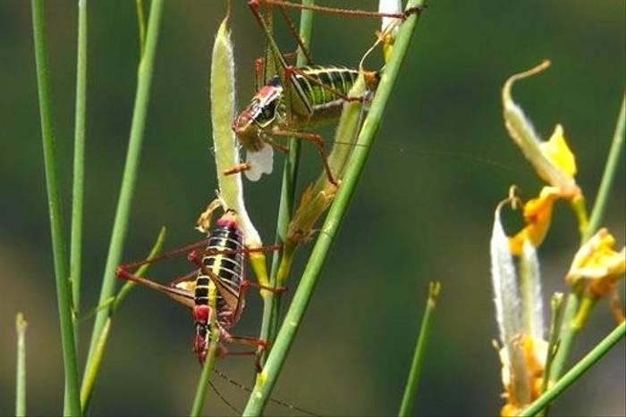 Bush Crickets (William Lintott)