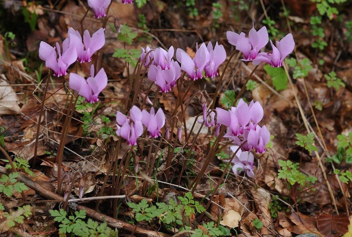 Cyclamen hederifolium 2 (David Morris).jpg