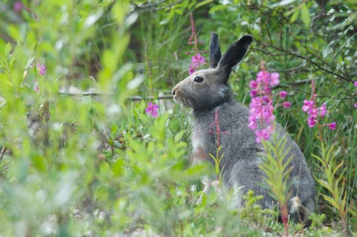 Arctic Hare in summer, Churchill, Canada shutterstock_1598177641.jpg