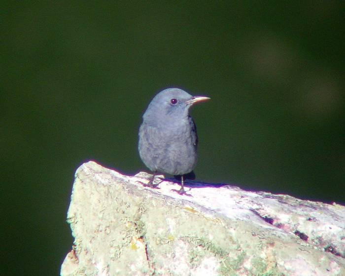 Blue Rock Thrush (Tom Mabbett)