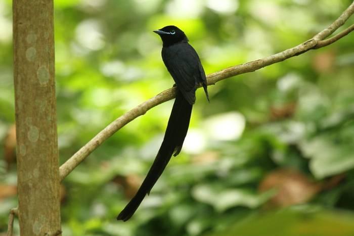 male Seychelles Paradise Flycatcher (Andrew Lapworth).jpg