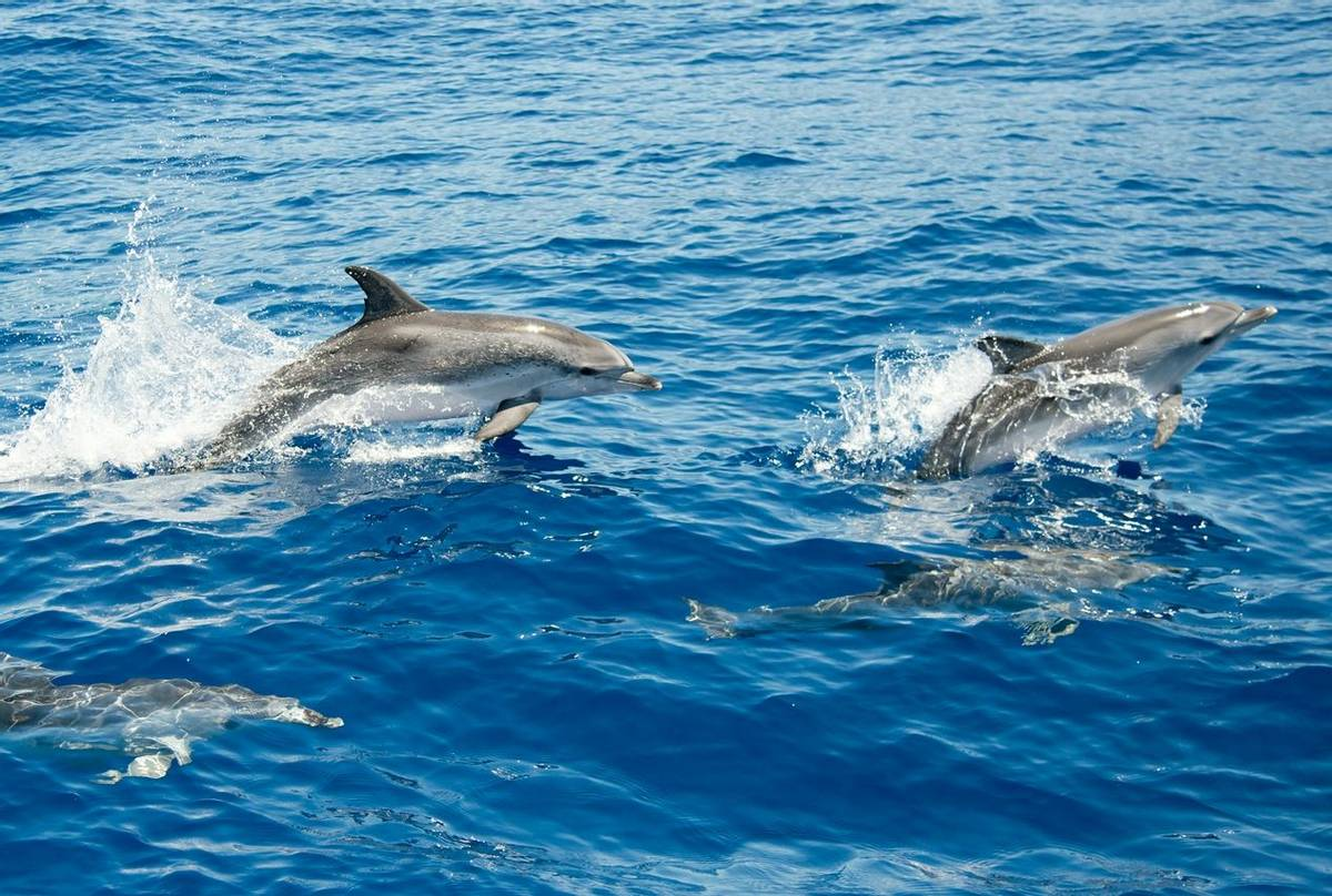 Atlantic Spotted Dolphins, Azores Shutterstock 463179536