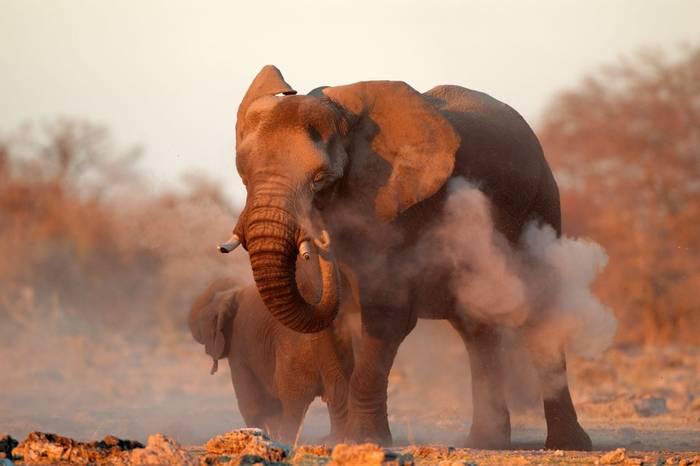 African Elephant Etosha National Park, Namibia Shutterstock 147266945