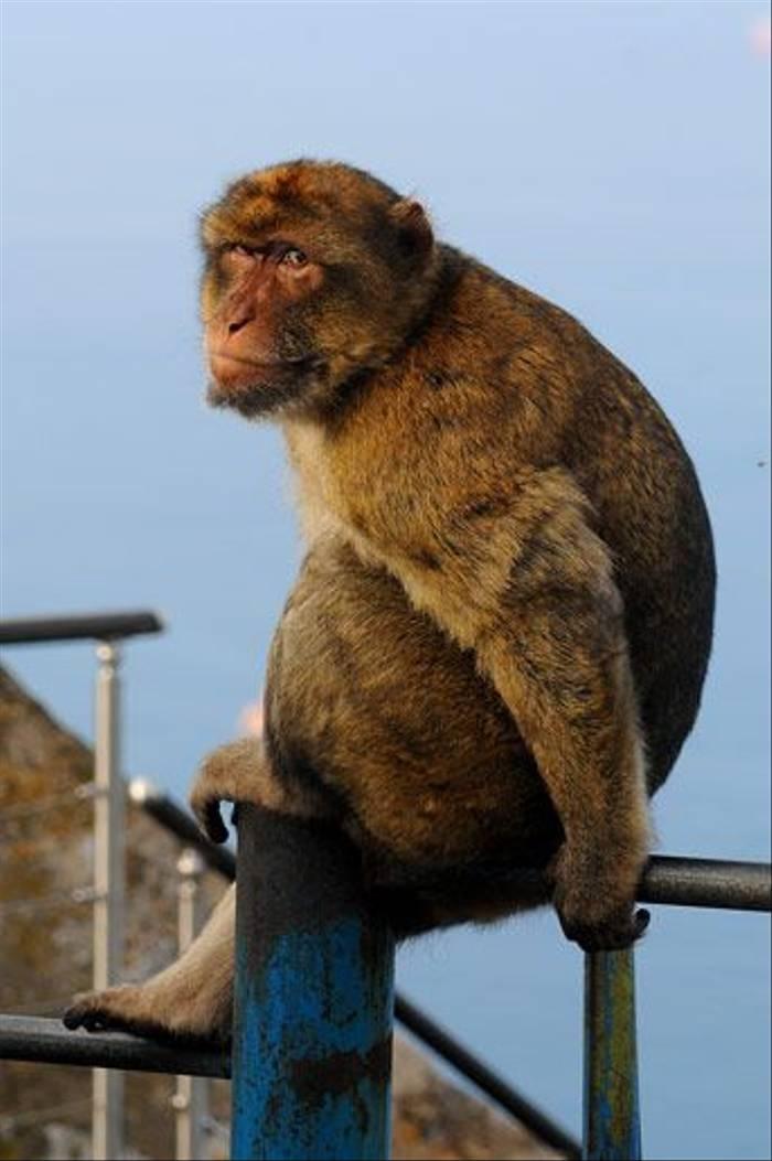 Barbary Macaque (David Morris)