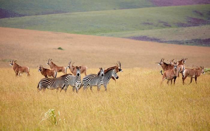 Roan Antelope and Zebra, Nyika Plateau, Malawi shutterstock_759807427.jpg